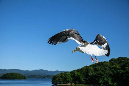 wingspread: Flying seagull at Toya lake, hokkaido, Japan