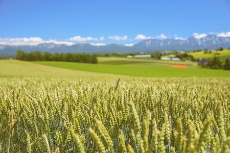 美瑛, 北海道, 日本のファームおよび山の背景を持つ麦畑