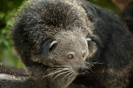 bearcat: Rare and amusing animal of binturong