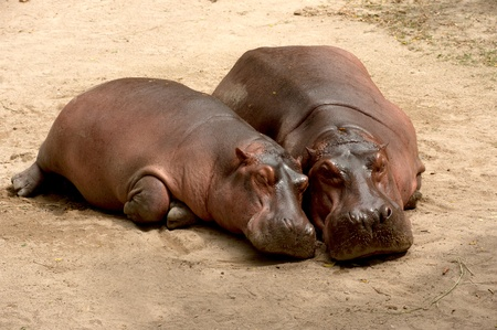 Hippo and her cub,hippopotamus couple sleeping,animal in zoo,mother and her baby,mothers love,baby sleep,safety,mother and calf  Standard-Bild
