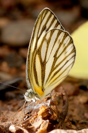 pieridae: Close up butterfly on laterite   Stock Photo