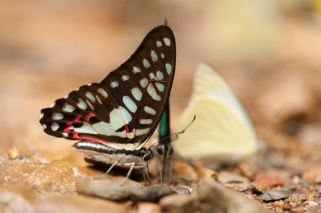 Close up butterfly on laterite   photo