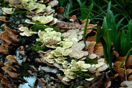 fungi woodland: Mushroom on the log in forest   Stock Photo