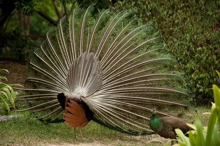 pair of peacocks   photo