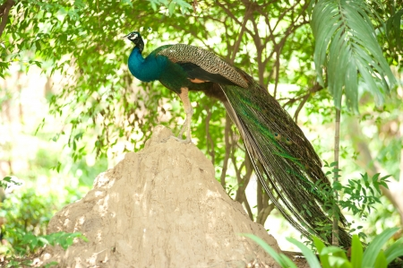 blue peafowl: Peacock in nature