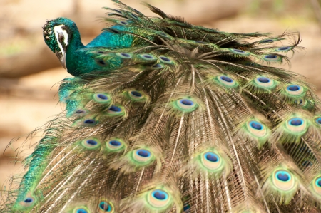 Peacock in nature   photo
