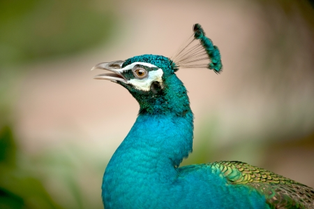 peacock wheel: Portrait of peacock