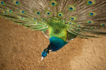 indian peafowl: Top of picture is a Peacock with its feathers open  Stock Photo