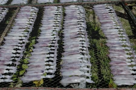 Drying Squid  Stock Photo - 16112801