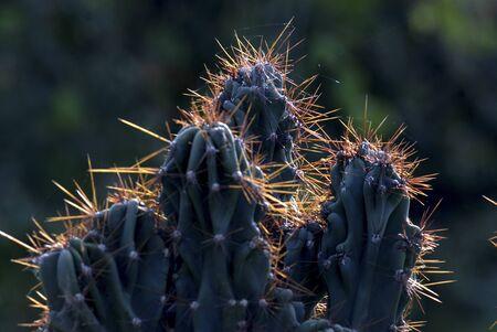 prickles: Cactus prickles   Stock Photo