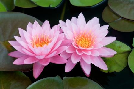 flores exoticas: Pink lotus Foto de archivo