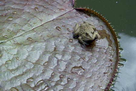 amphibia: Small frog on lotus leaf