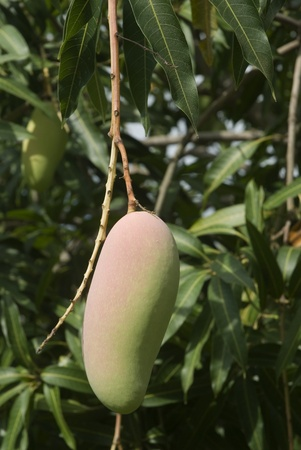 Mangos on tree Stock Photo - 16328673