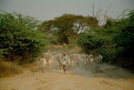 in herding: Goat herding , Bagan Archaeological zone, Myanmar