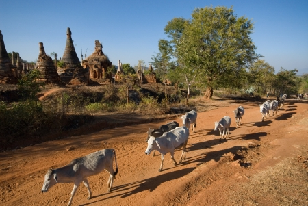 Cows around the stupas of Inn Taing temple near Inle lake in Myanmar Stock Photo - 16394129