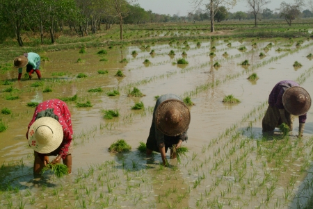 Group of women working at rice field in Myanmar  photo