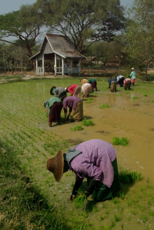 underpaid: Group of women working at rice field in Myanmar