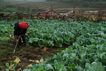 Women working in vegetable farm ,Vietnam  photo