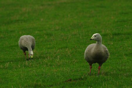 Goose and gander in Australia   Stock Photo - 16451692