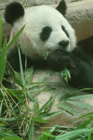 Big Panda is eating  photo