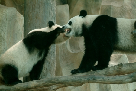 Two giant panda playing in the zoo  photo