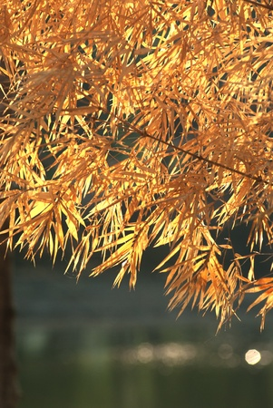 Dry leaf bamboo tree   Stock Photo - 16530734