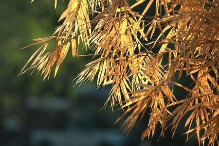 Dry leaf bamboo tree   Stock Photo - 16533194