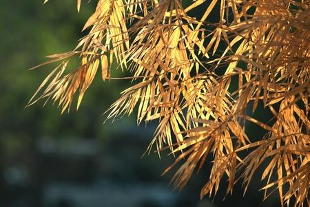 Dry leaf bamboo tree Stock Photo - 16533194