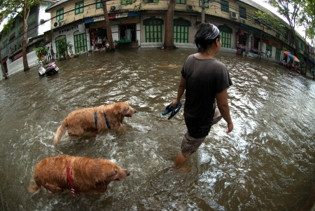 evacuating: BANGKOK, THAILAND - OCTOBER 31   unidentified People and dogs running in flood water in Bangkok after the heaviest rains in 50 years in Thailand on October 31, 2011 in Bangkok, Thailand