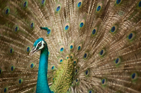 indian peafowl: A Peacock with its feathers open