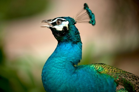common peafowl: Portrait of peacock