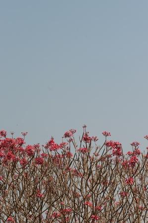 Frangipani in blue sky  photo