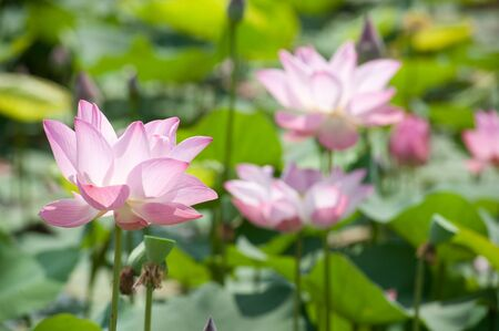 frondage: Pink lotus in the pond