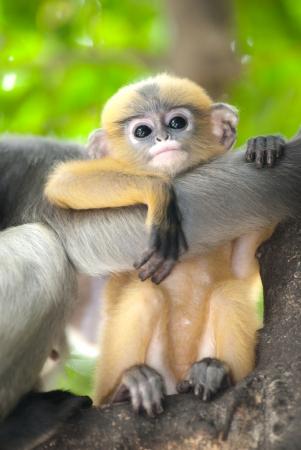 obscura: Monkey baby   Presbytis Obscura Reid