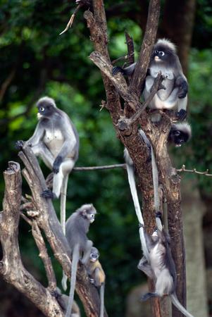 obscura: Monkey family on tree   Presbytis Obscura Reid