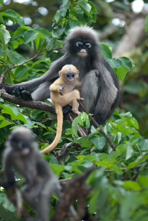 obscura: Monkey mother and her baby   Presbytis Obscura Reid     Stock Photo