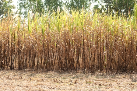 Sugarcane plantation   photo