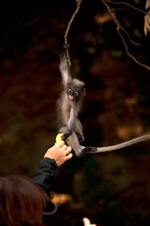 obscura: Feeding the monkey   Presbytis obscura reid