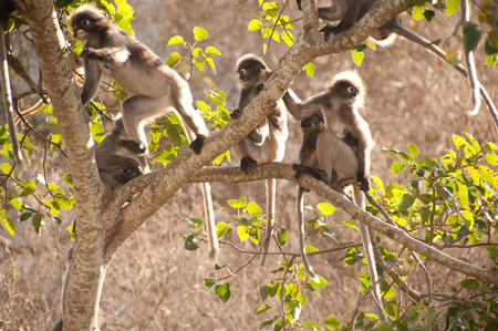 obscura: Monkey family sitting on tree resting   Presbytis obscura reid