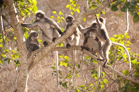 obscura: Monkey family sitting on tree resting   Presbytis obscura reid
