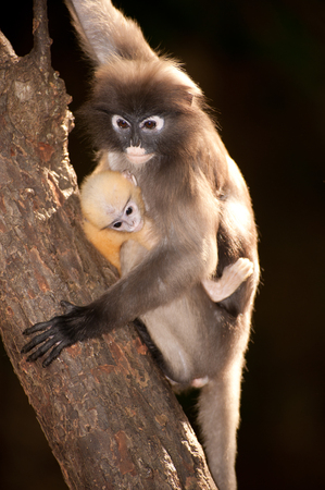 obscura: Monkey mother and her baby on tree in forest   Presbytis Obscura Reid