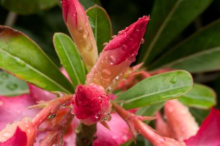 Impala Lily Adenium or Desert Rose Stock Photo - 26465101