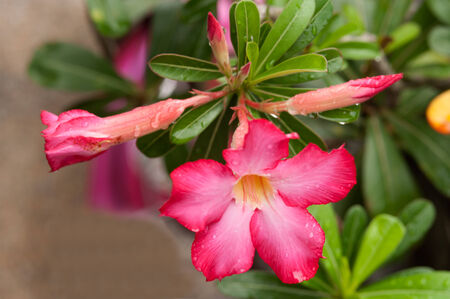 Impala Lily Adenium or Desert Rose  Stock Photo - 26465069
