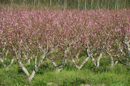 acres: Acres planted cherry blossoms in China