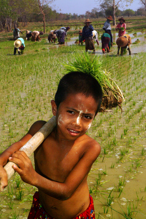 Young Myanmar farmer working in ricefield