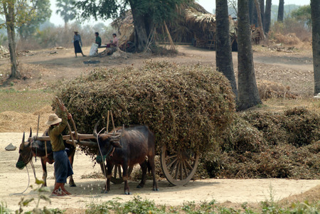 towed: Buffalo carts towed in Myanmar field  Stock Photo