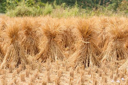 chaff: Straw in rice field. Stock Photo