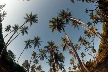 Coconut palm trees perspective view. photo