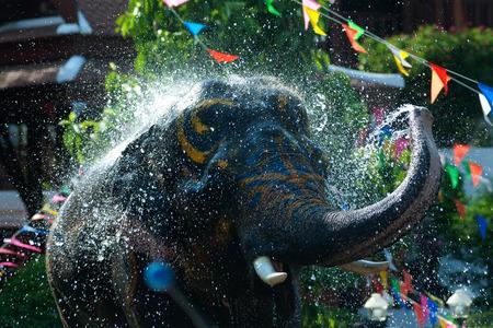 thailand: Young elephant splashing water .