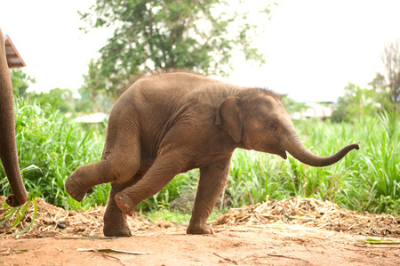joyfully: Asian elephant baby dance is joyfully.